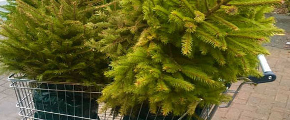 Adopt a Milngavie Christmas tree